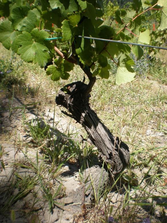 Viejas viñas de Pinot Noir